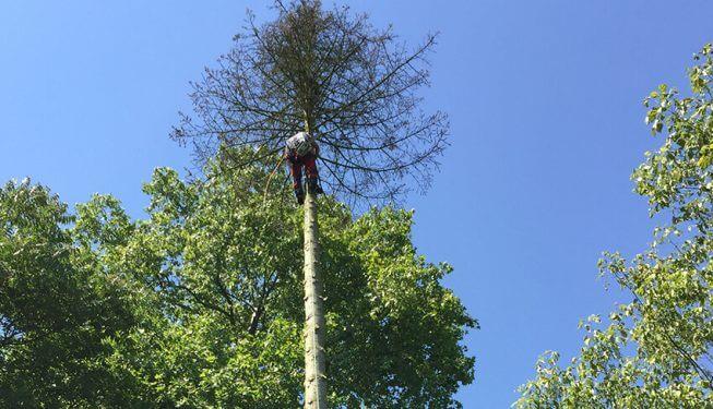 Baumpflege, Landschaftsbauer klettert in einem Baum