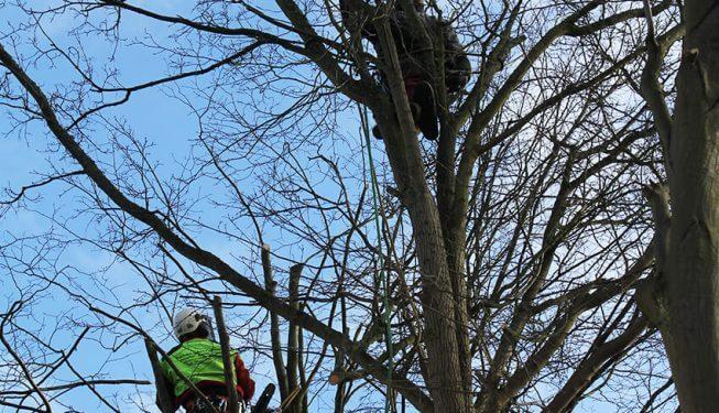 Baumpflege, zwei Landschaftsbauer klettern in einem Baum